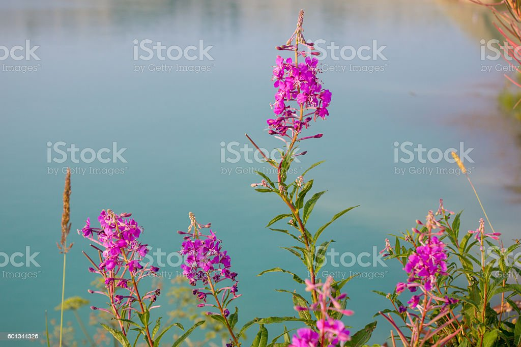 Beautiful landscape of willow-herb and lake stock photo