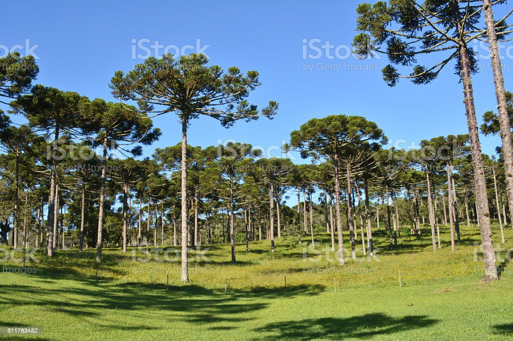 Beautiful landscape with pines stock photo