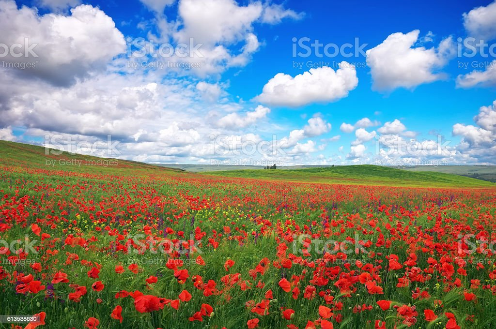 Beautiful Landscape with poppy meadow. Composition of nature. stock photo