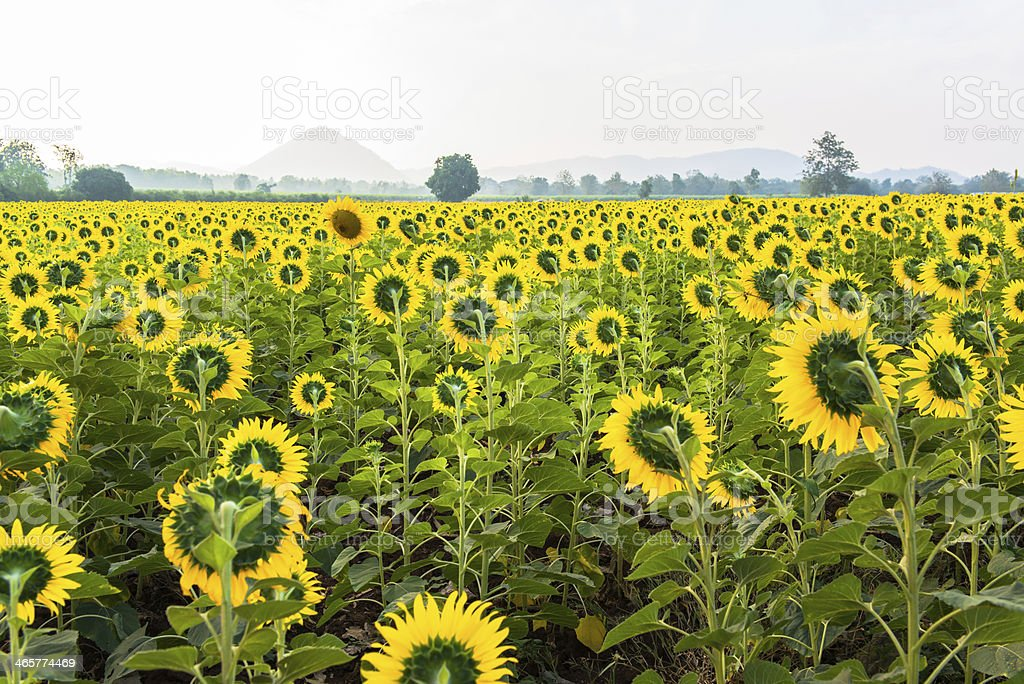 Beautiful landscape with sunflower field over cloudy blue sky royalty-free stock photo