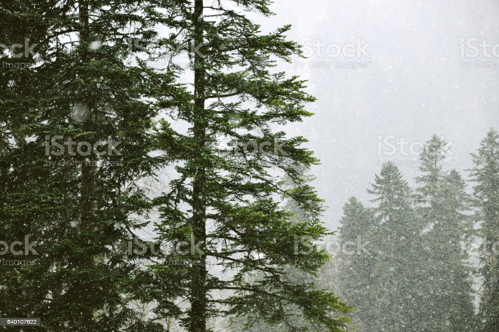 Beautiful landscapes of winter forest stock photo
