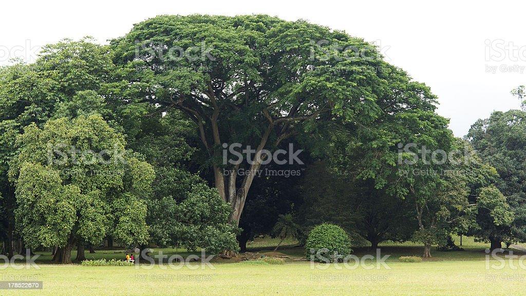 Beautiful large green shade tree royalty-free stock photo