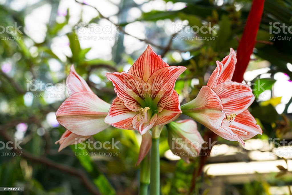 Beautiful large lily flowers in nature stock photo