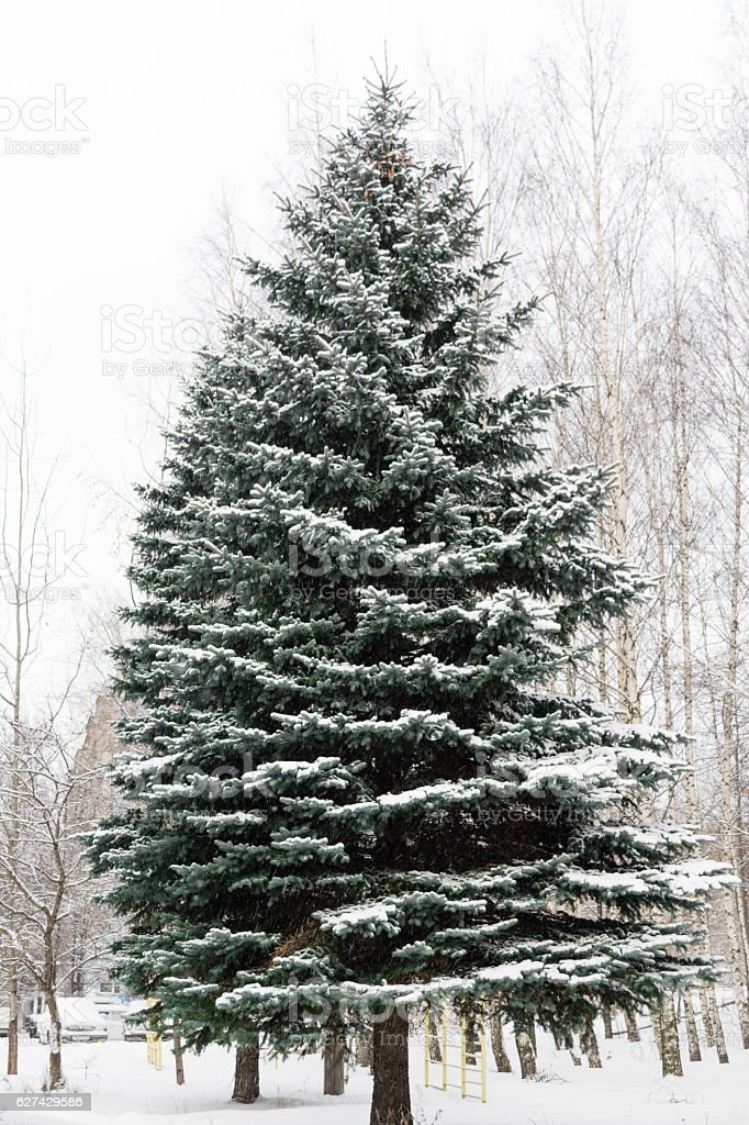 beautiful large, tall, green fir tree all in the snow stock photo