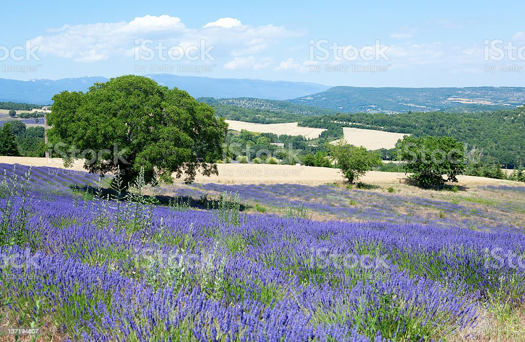 Beautiful lavender field in Provence, France royalty-free stock photo
