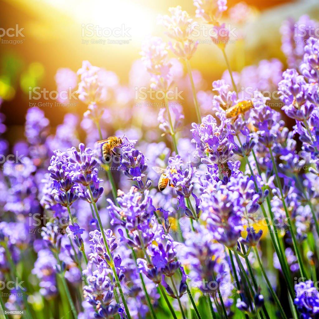 Belles fleurs de lavande de france avec les abeilles for France fleurs