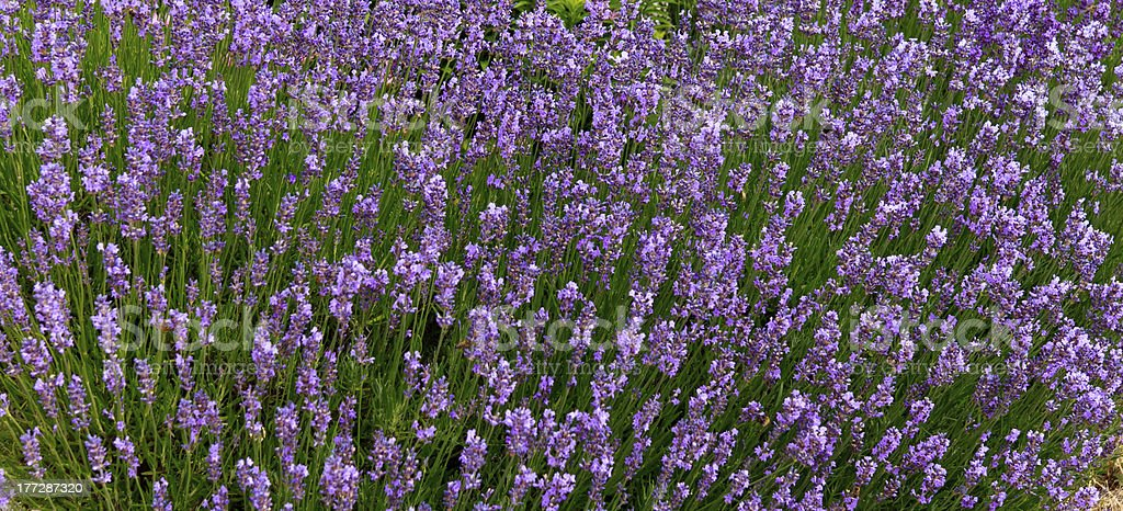 Beautiful lavender in Provence, France royalty-free stock photo