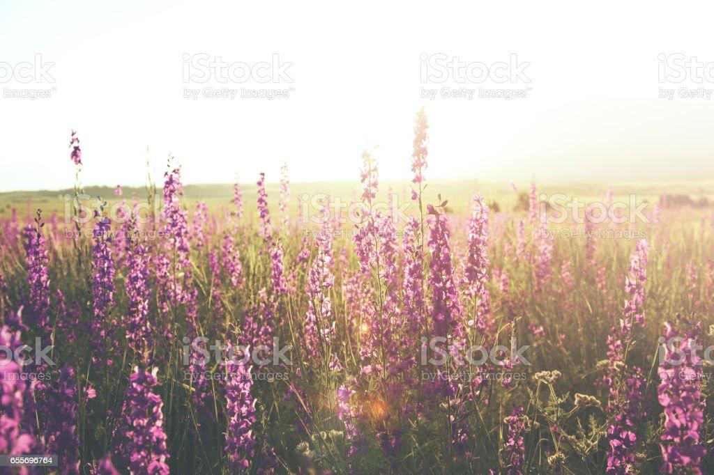 beautiful lavender purple flowers in field stock photo