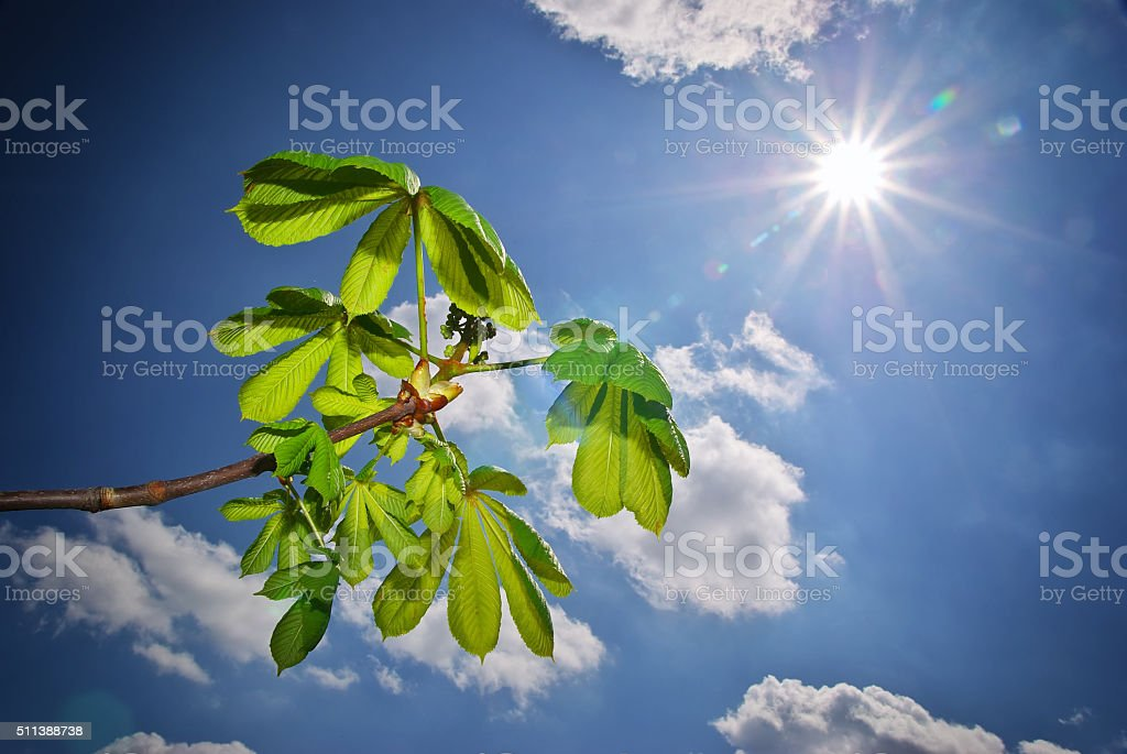 Beautiful leafs of chestnut. stock photo