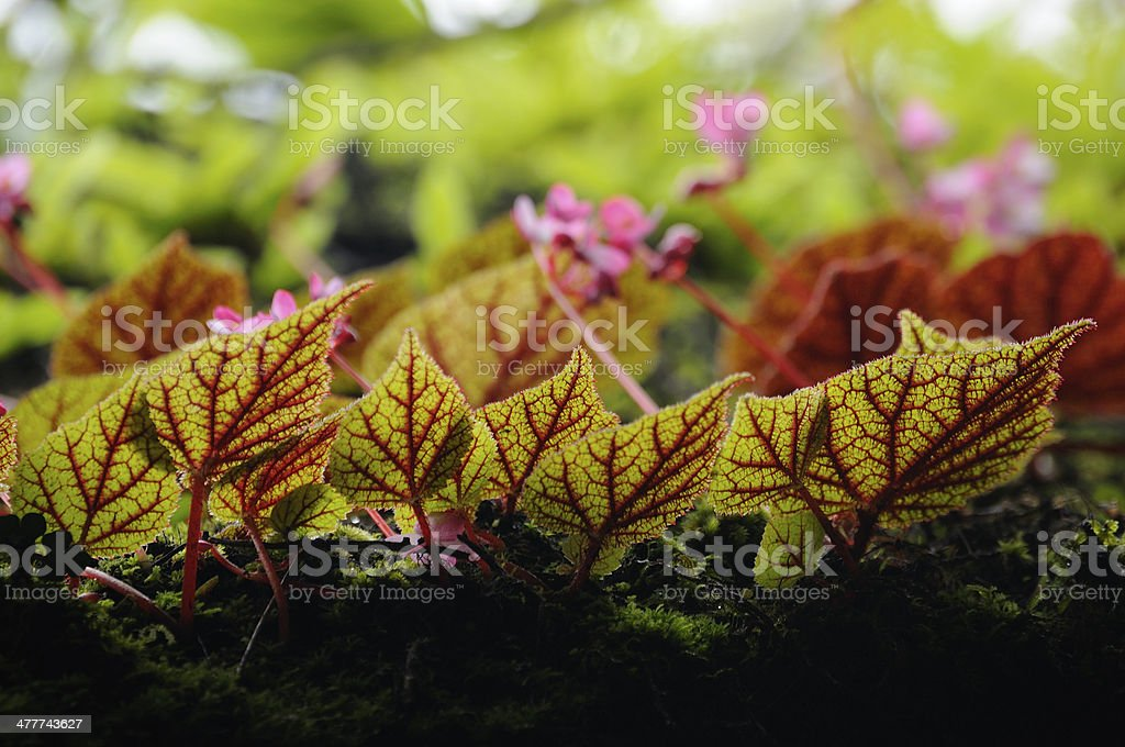 Beautiful leaves of begonia royalty-free stock photo