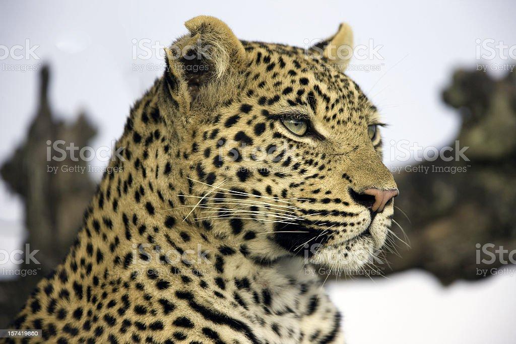 Beautiful Leopard royalty-free stock photo
