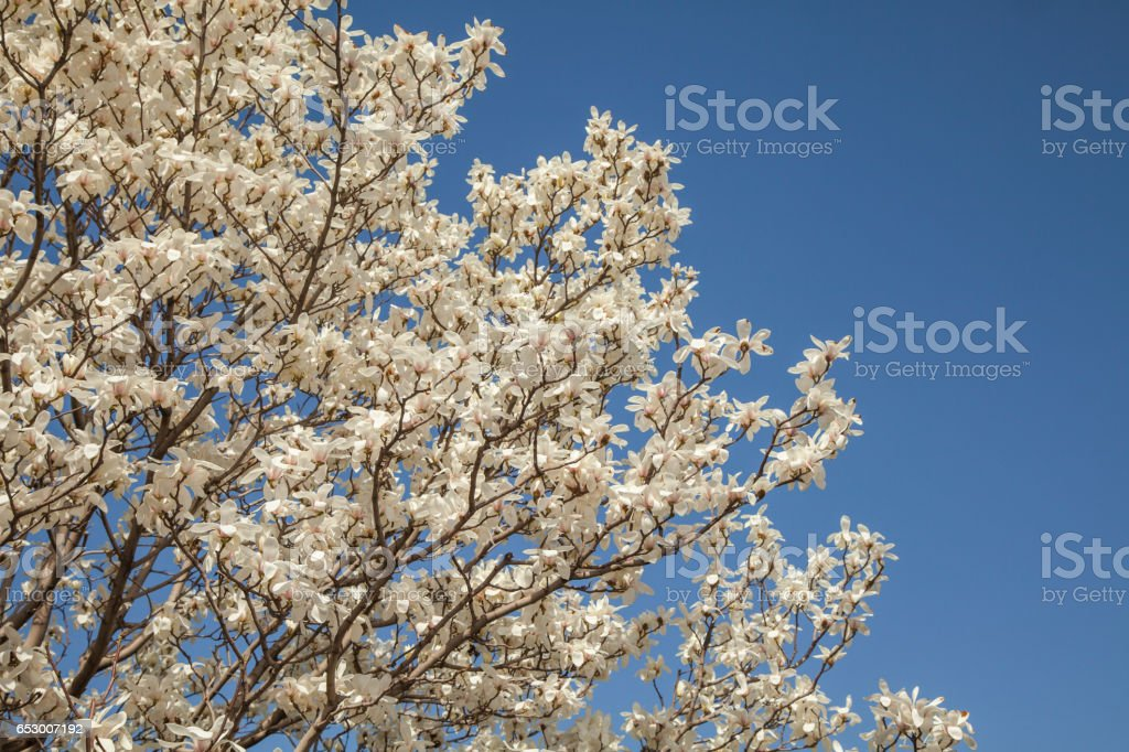Beautiful light white magnolia flowers on blue sky background. stock photo
