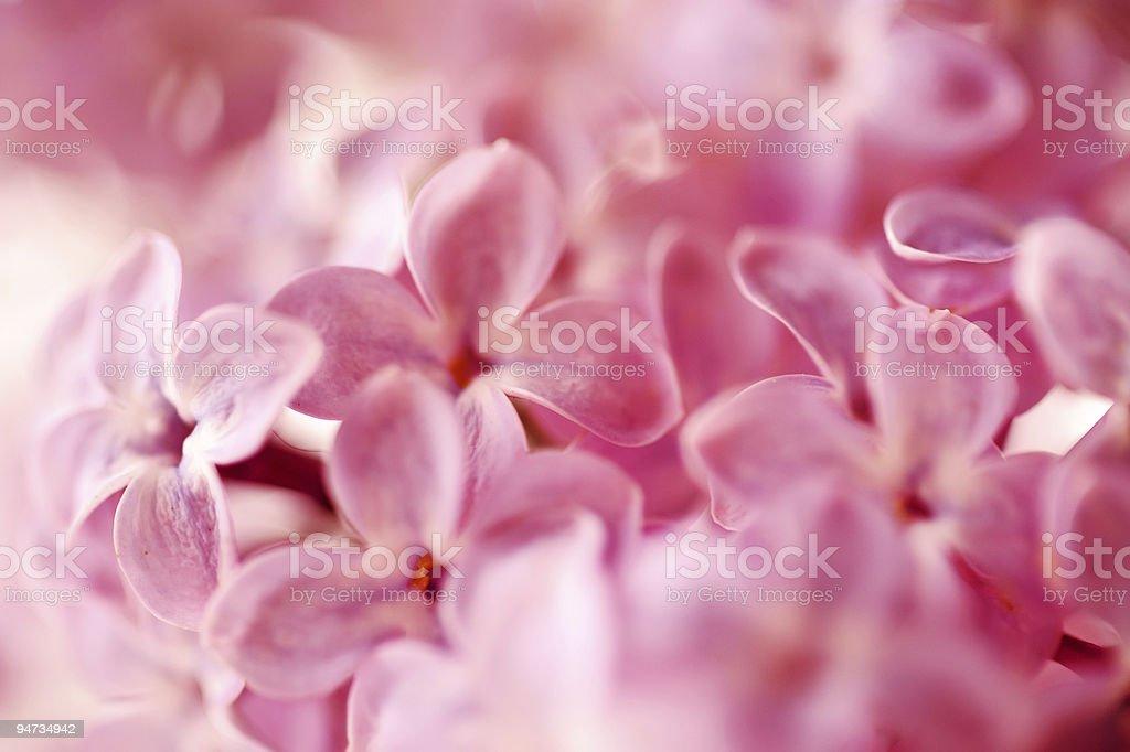 beautiful lilac background royalty-free stock photo