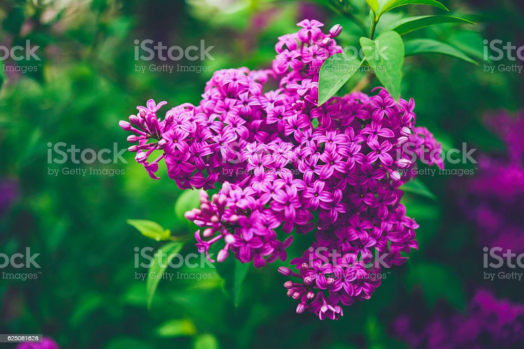 Beautiful lilac bushes in full bloom. Springtime in nature stock photo