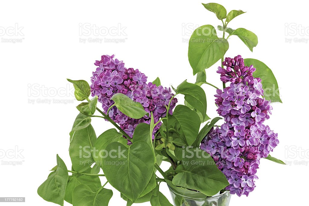 Beautiful   Lilac in the Vase. Isolated over white . royalty-free stock photo