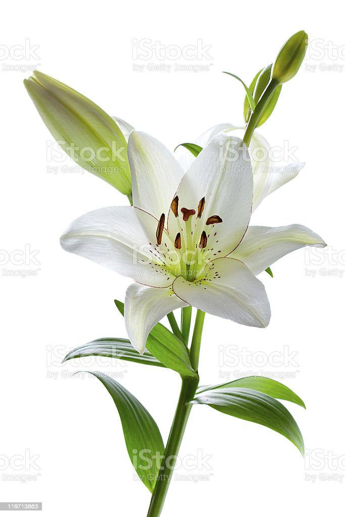 Beautiful lily flowers, isolated on white stock photo