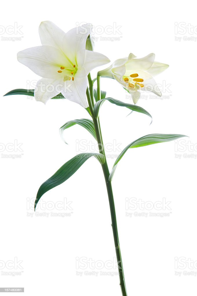 Beautiful lily flowers on white. stock photo