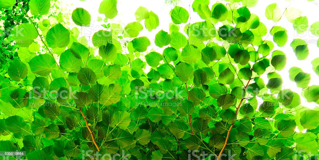 beautiful linden leaves, seen from below stock photo