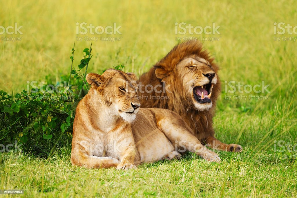 Beautiful lion and lioness resting at safari park stock photo