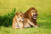 Beautiful lion and lioness resting at safari park