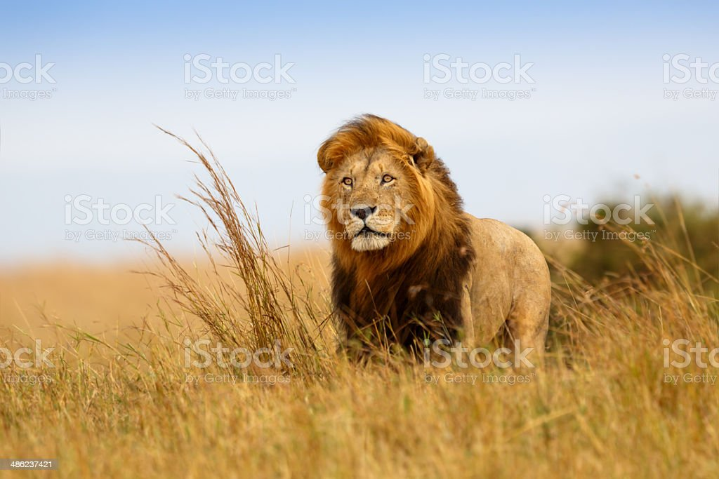 Beautiful Lion Caesar in the golden grass of Masai Mara stock photo