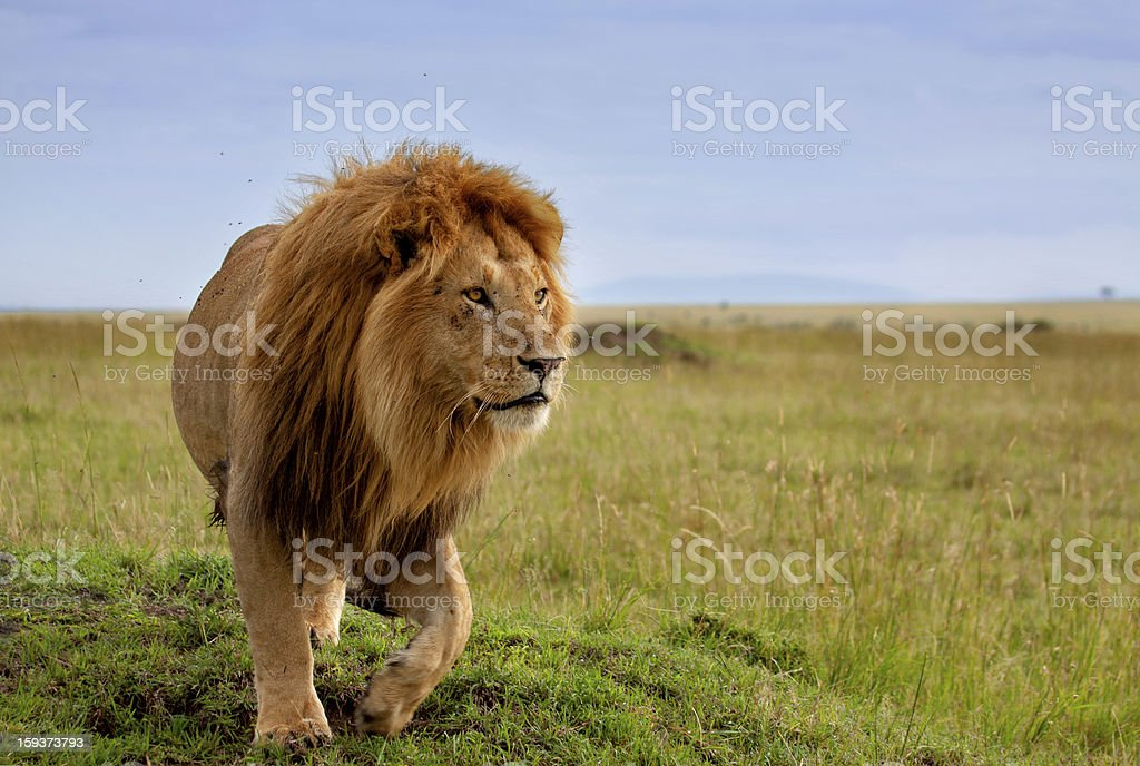 Beautiful lion of the Masai Mara stock photo