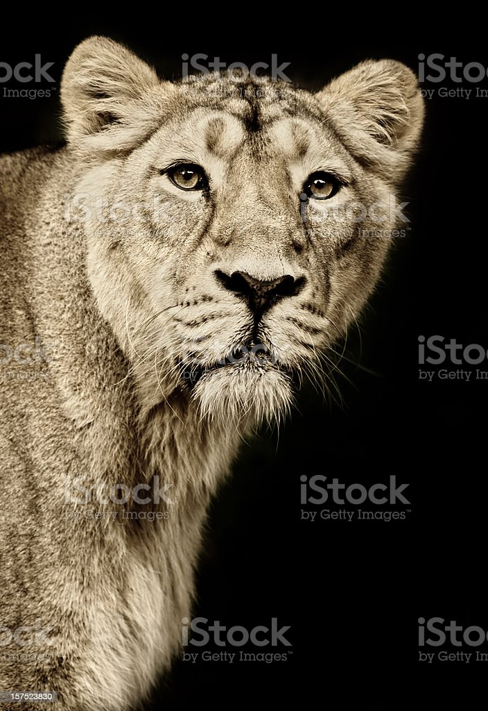 Beautiful Lioness royalty-free stock photo