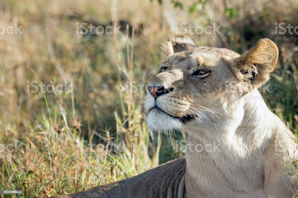 beautiful lioness proudly lying in the African savannah stock photo