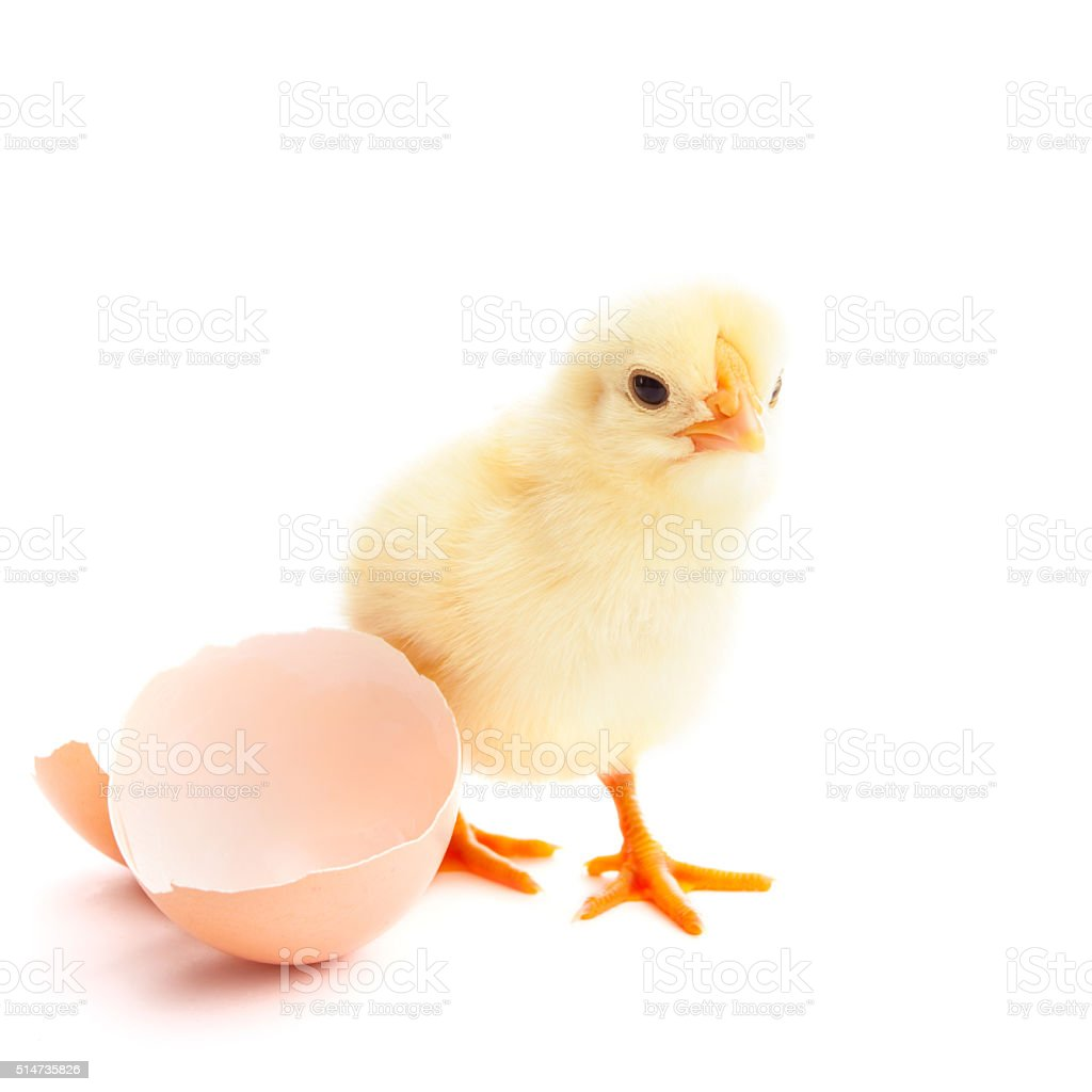 beautiful little chick and eggshell stock photo