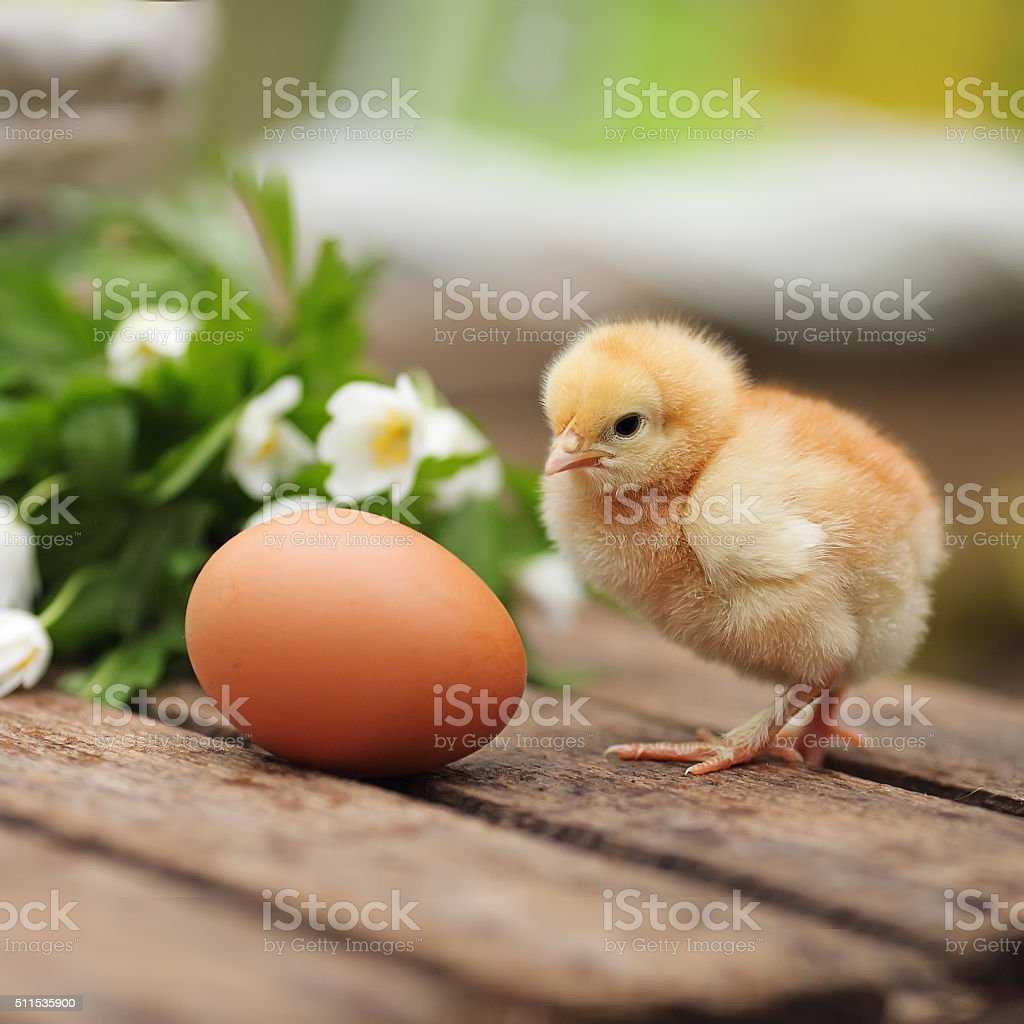 Beautiful little chicken with egg  on a wooden board stock photo