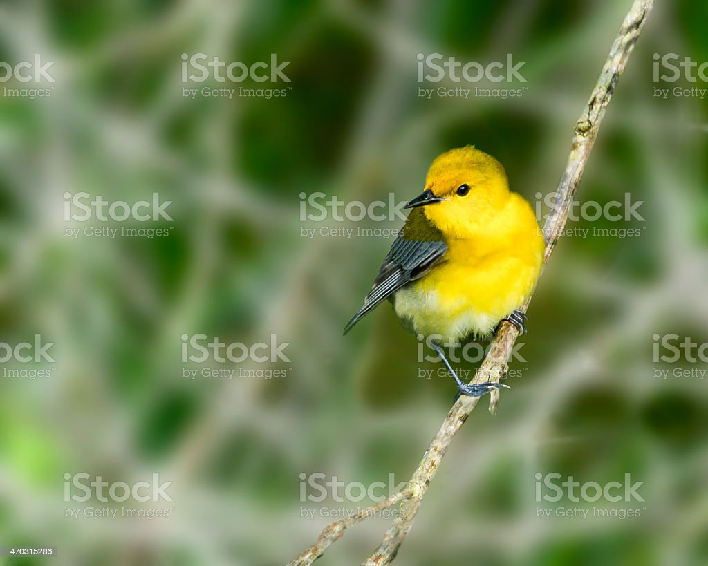 Beautiful Little Prothonatory Warbler Perched On A Branch stock photo