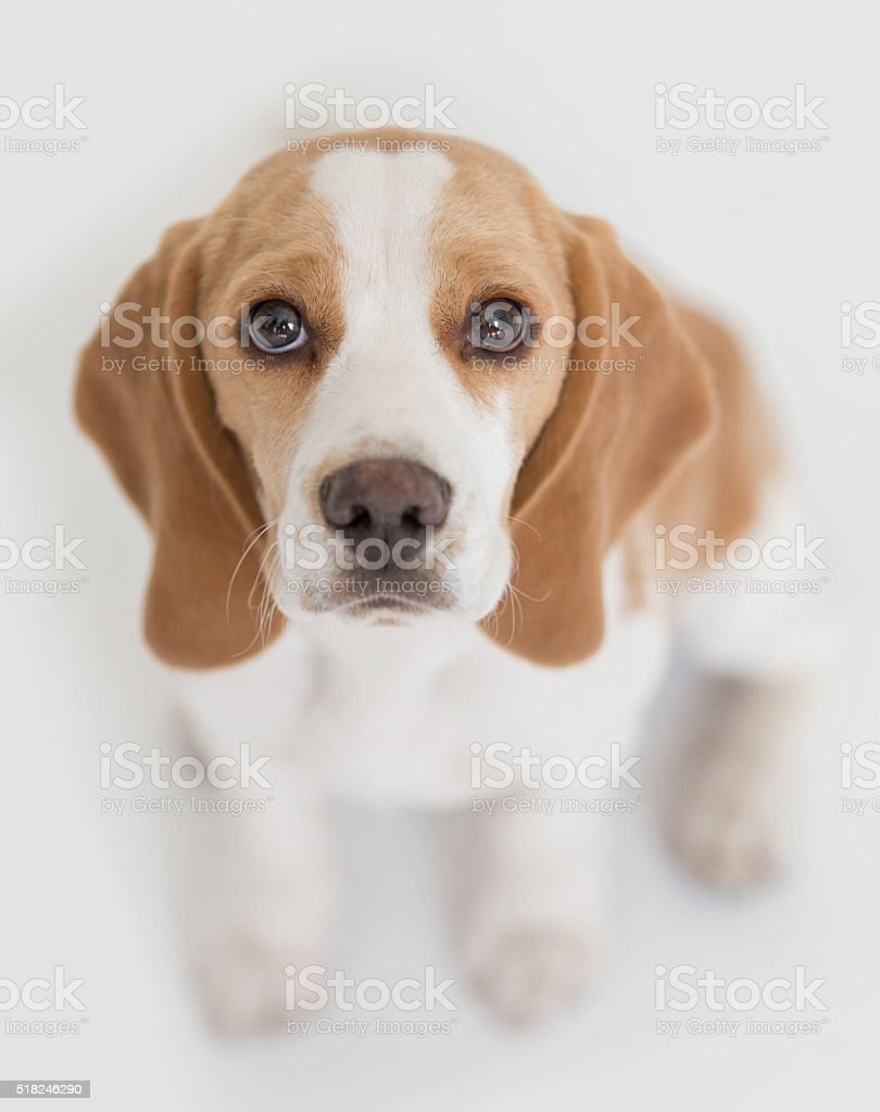 Beautiful little puppy stock photo