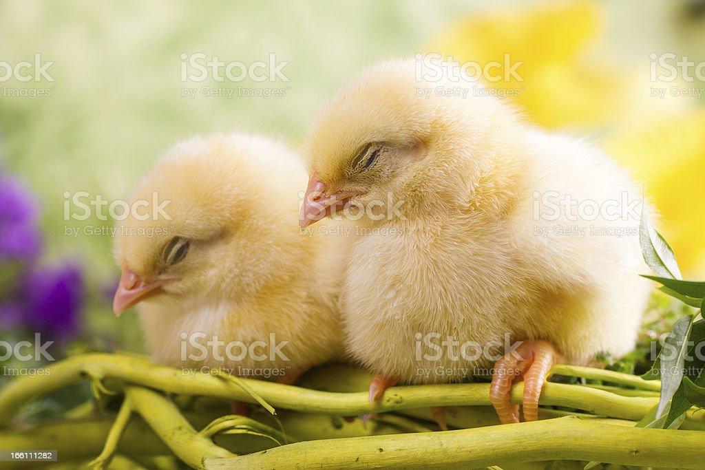 Beautiful little sleeping chickens royalty-free stock photo