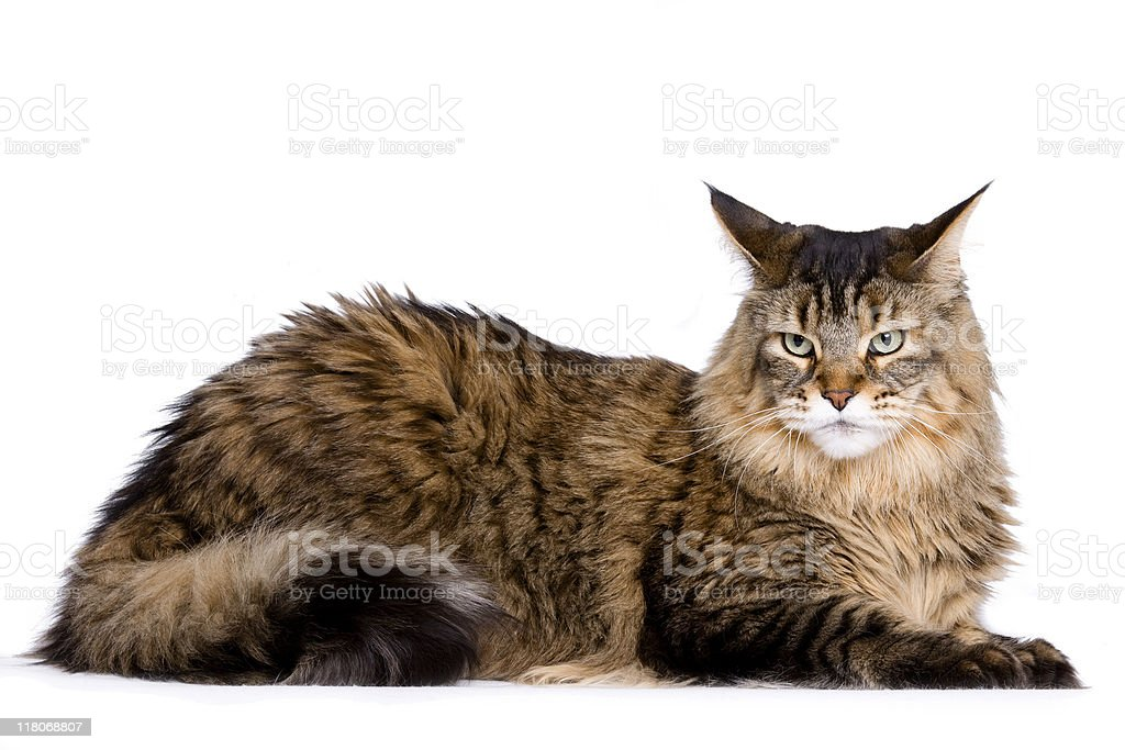 Beautiful long haired brown and white cat,.& stock photo