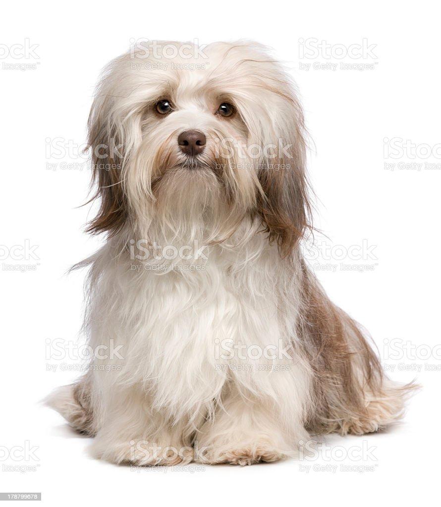 Beautiful Long Haired White Havanese Bichon Dog stock photo