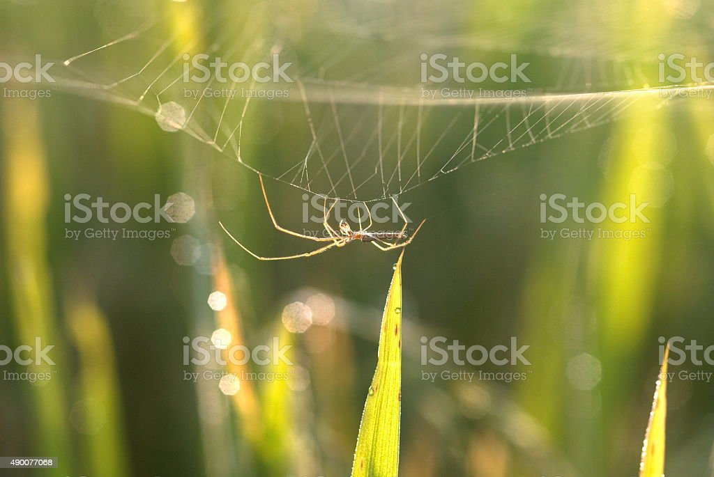 Beautiful long-jawed spider in rice field stock photo