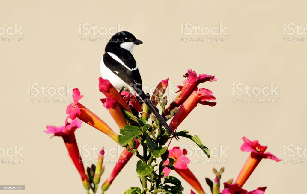 A beautiful Long-tailed Fiscal stock photo