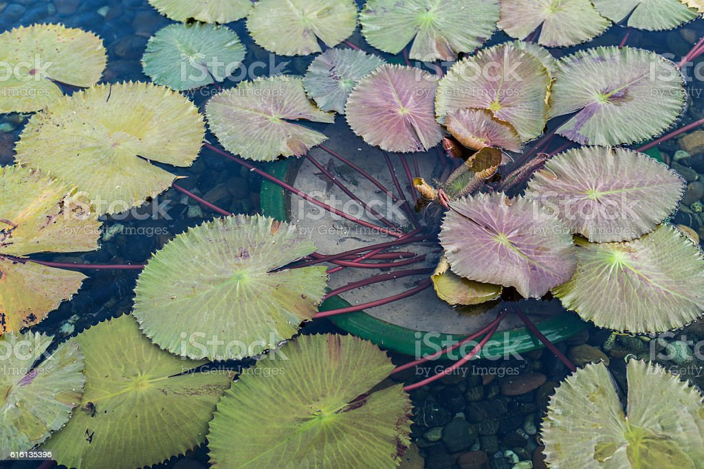 beautiful lotus flower in pond. stock photo