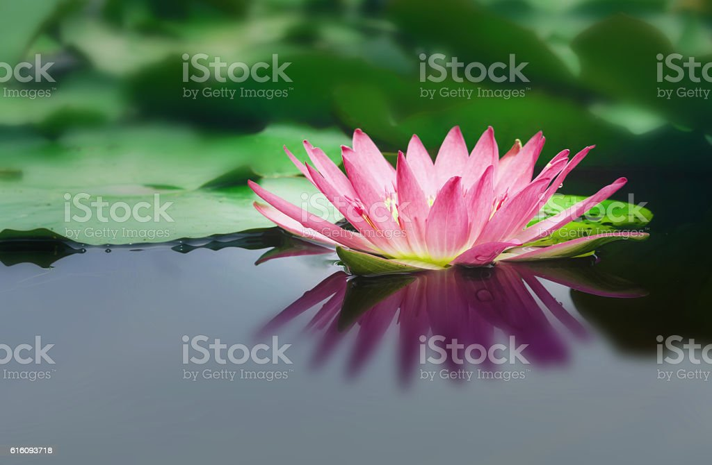 beautiful lotus flower is complimented stock photo