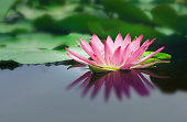 beautiful lotus flower is complimented