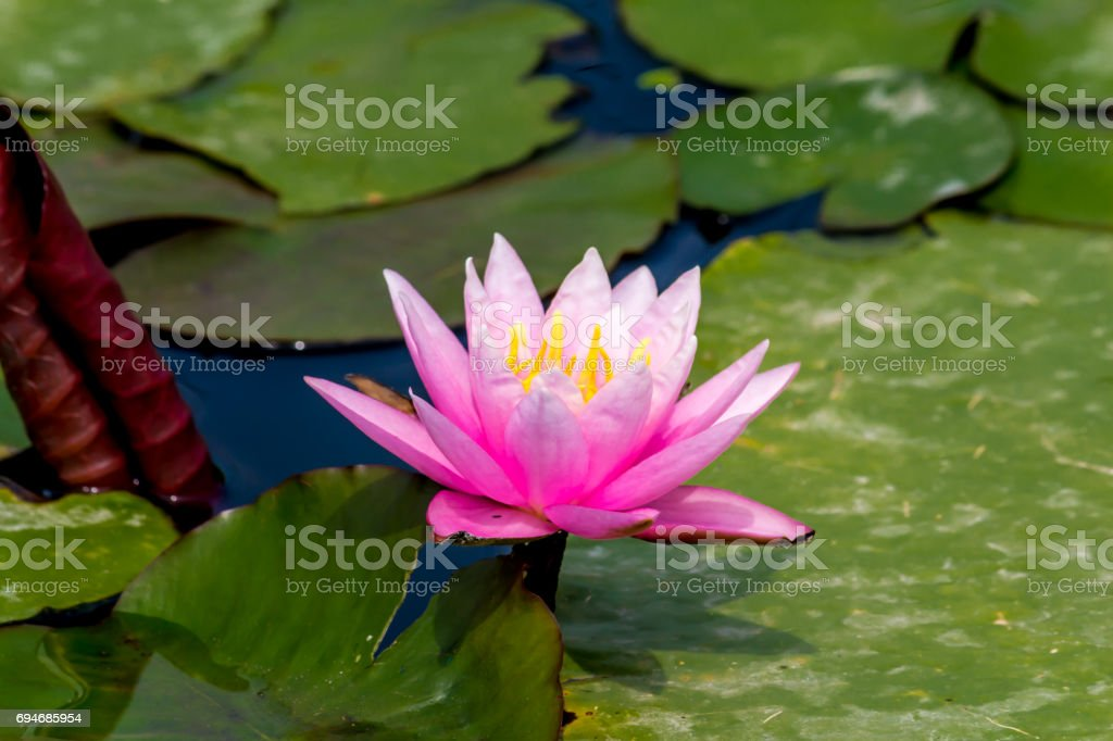 Beautiful lotus flower is the symbol of the buddha thailand stock beautiful lotus flower is the symbol of the buddha thailand royalty free stock mightylinksfo