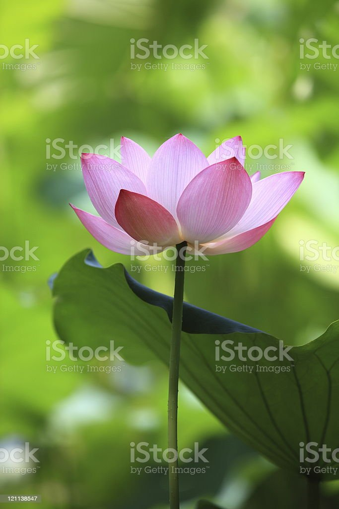 Beautiful lotus flower stock photo