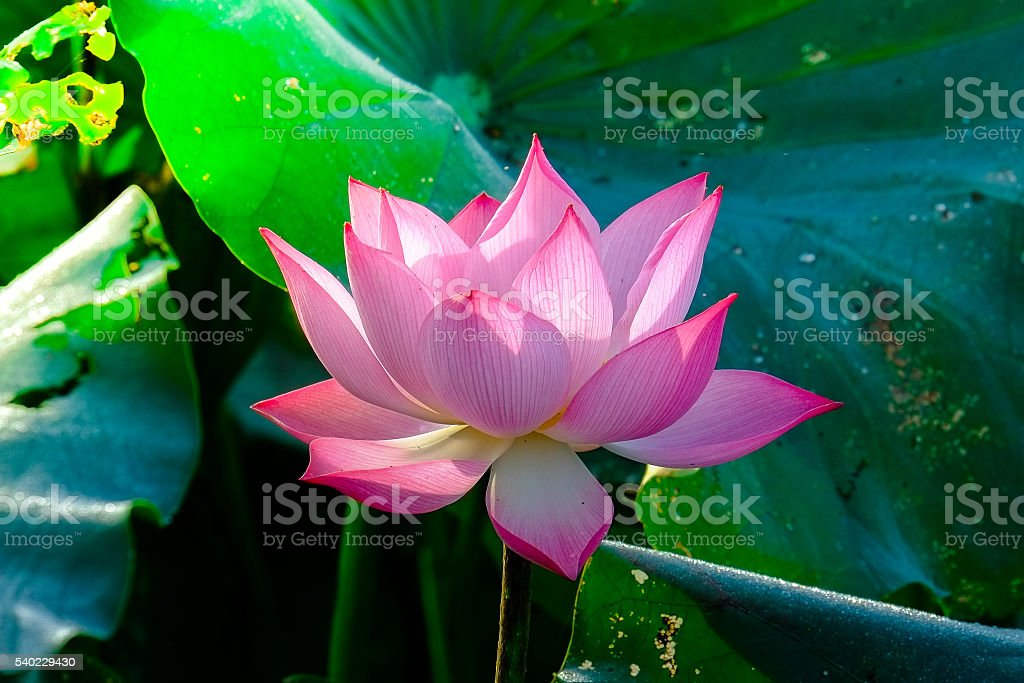beautiful lotus flower stock photo   istock, Beautiful flower