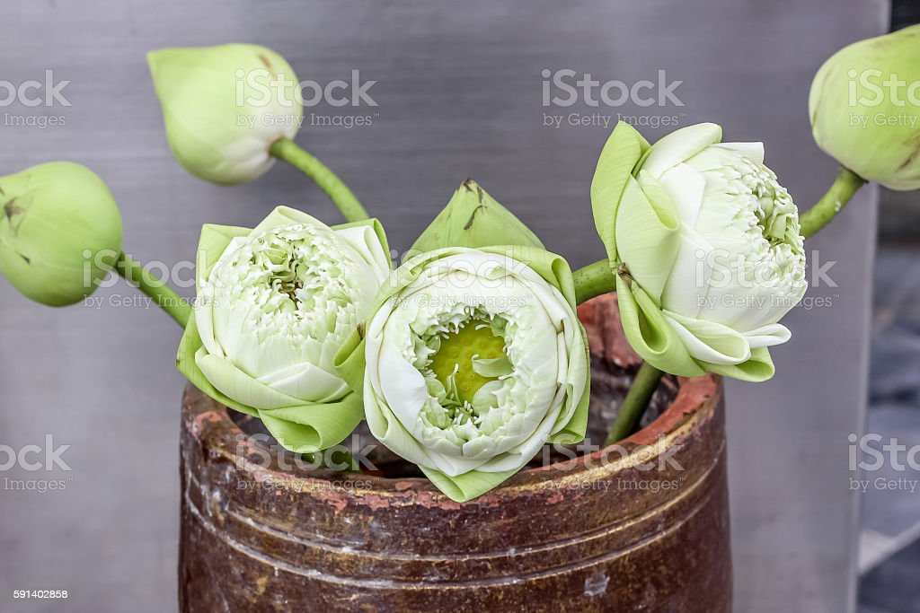 beautiful lotus flowers in vase for pay respect to Buddha stock photo