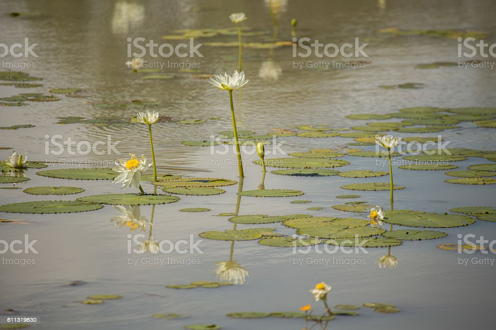 Beautiful Lotus flowers on billabong stock photo