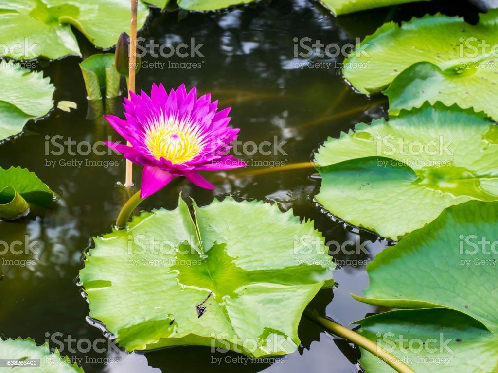Beautiful lotus flowers stock photo