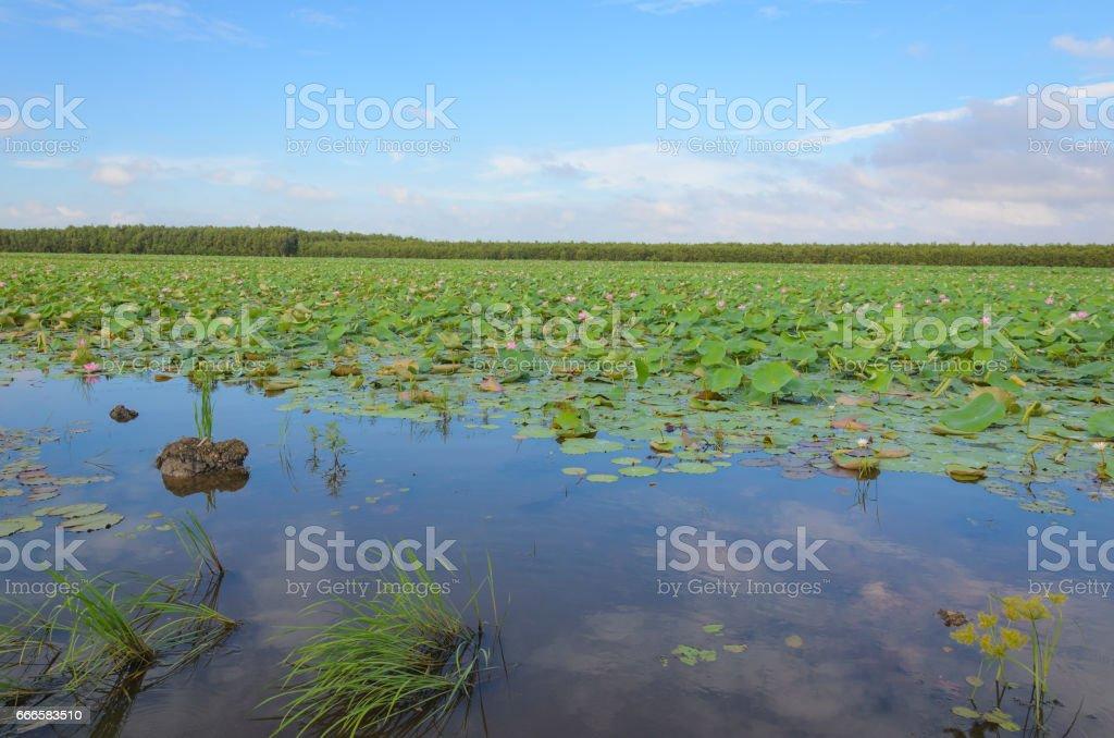 beautiful lotus garden in Mekong delta, Vietnam stock photo