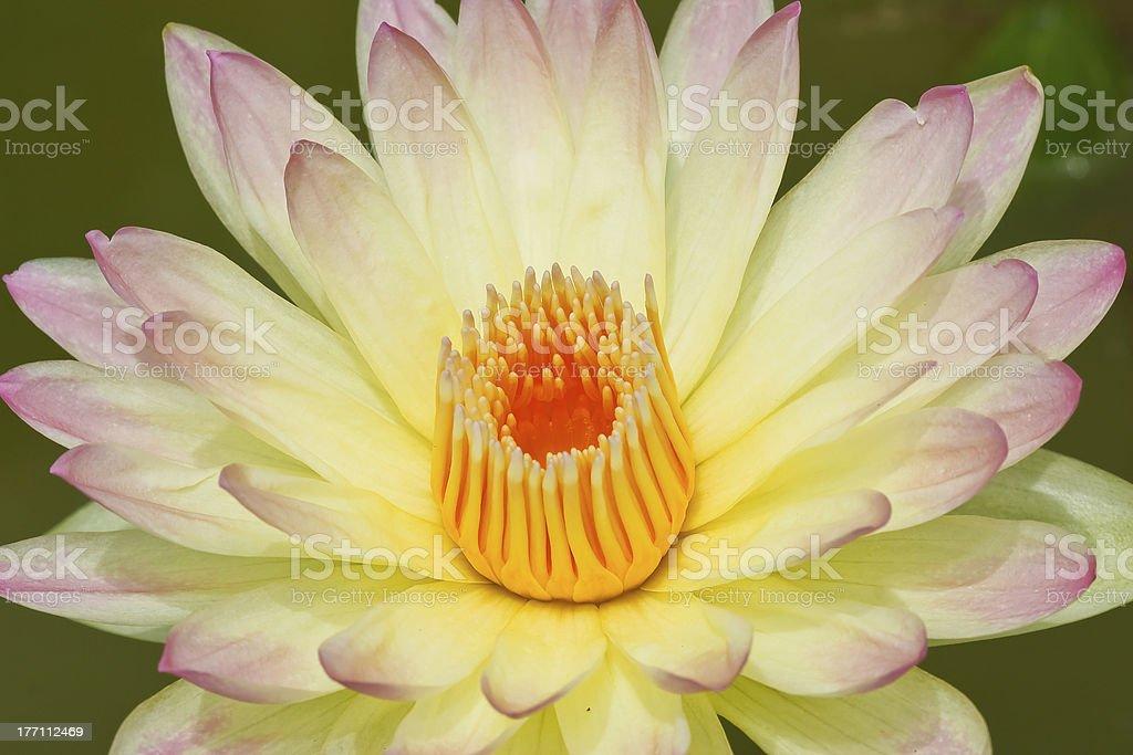 Beautiful lotus in Thailand. royalty-free stock photo