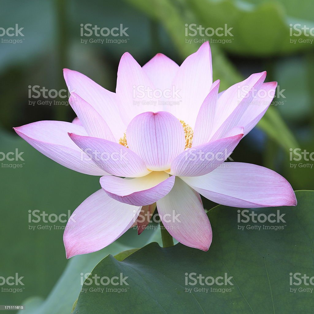beautiful lotus royalty-free stock photo
