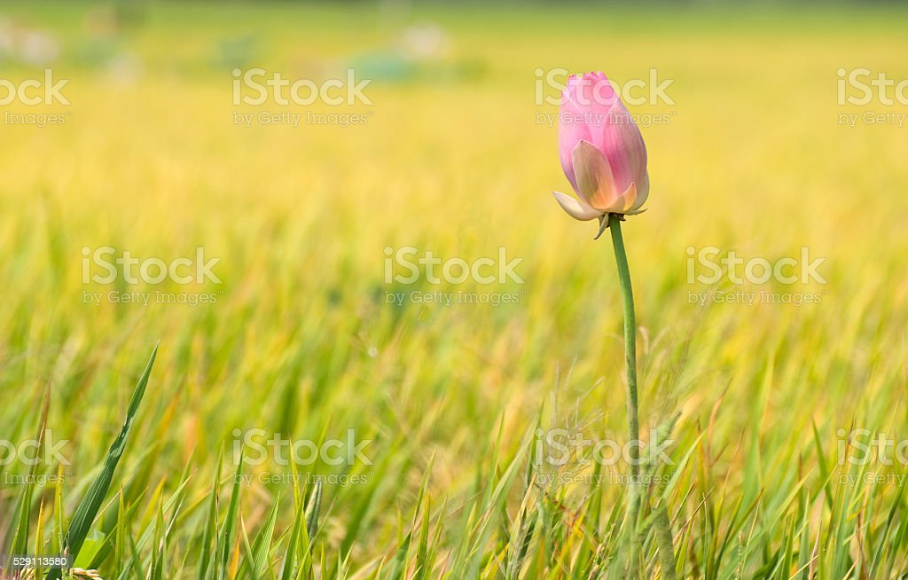 Beautiful lotus stock photo